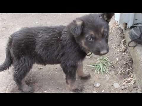 German Shepherd Puppy Biting Tail