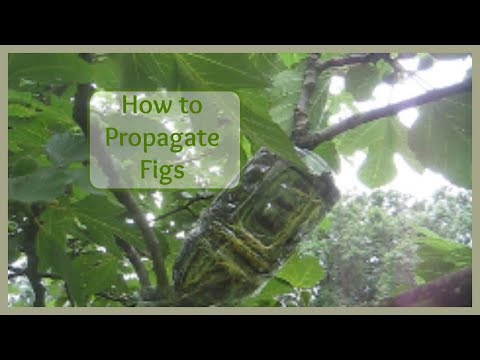 How to Propagate Figs - Air Layer Method