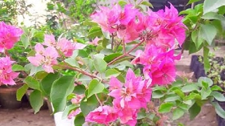 How to grow bougainvillea from cutting (Hindi)