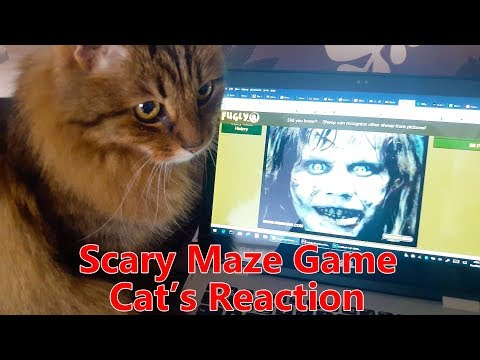 Scary Maze Game Maine Coon Cat's Reaction