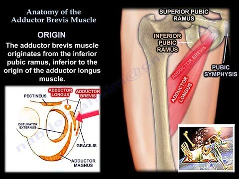 Anatomy Of The Adductor Brevis Muscle  - Everything You Need To Know - Dr. Nabil Ebraheim