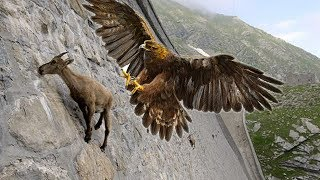 Eagles hunting Mountain goat !!! Let's watch the Eagles use their skills to catch the Mountain goat