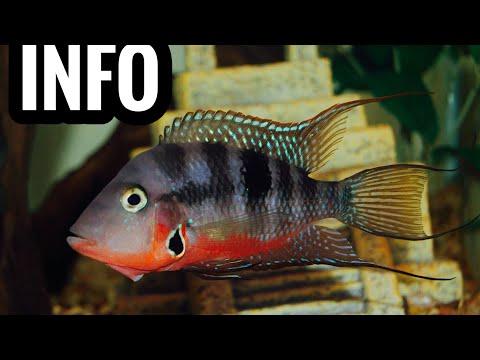 Firemouth Cichlid Care, Breeding, Tank Mates