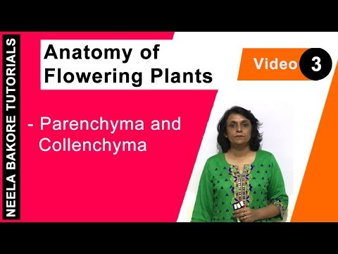 Anatomy of Flowering Plants - Parenchyma and Collenchyma
