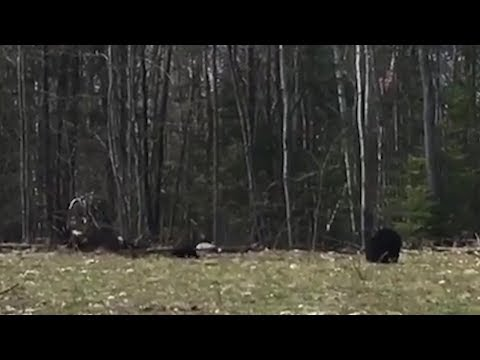 VIDEO: Another bear sighting in Sault Ste Marie
