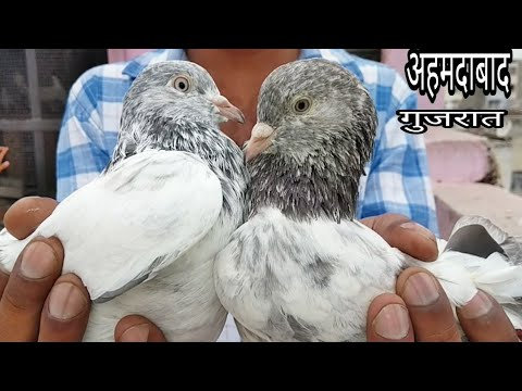 Xxx Mp4 HANIF BHAI WITH USTAD AURANGZEB SHAIKH AHMDABAD GUJRAT ALL HIGH FLYER PIGEON SHARANPURI KALSIRE 3gp Sex