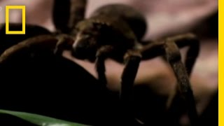 Download Deadly Spider Bite! | National Geographic Video