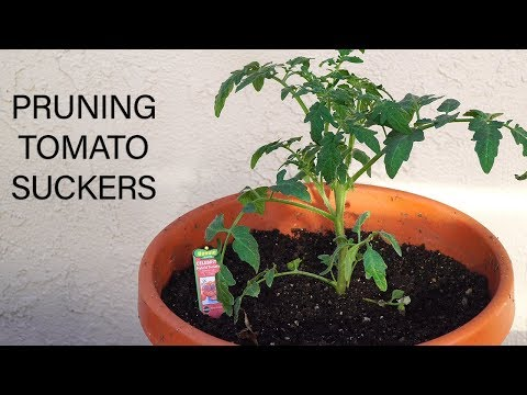 Pruning Tomato Suckers - How To Prune Tomato Plants For Big Harvests