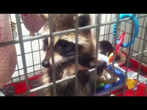 Baby Raccoon Wants Attention
