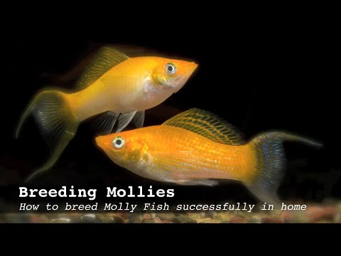Breeding Mollies:  How to breed Molly Fish successfully in home aquarium