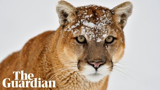 Washington police on fatal cougar attack:
