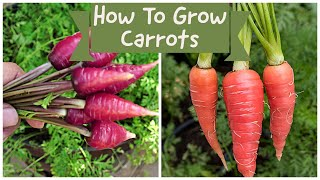 How To Grow Carrots - Growing Two Delicious Carrot Varieties