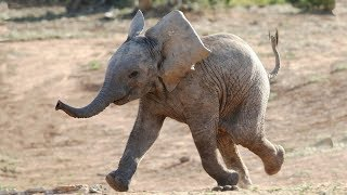Most Funny and Cute Baby Elephant Videos  (2016)