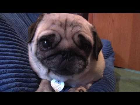 Cutest Pug Video!!!