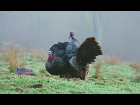 Turkey Hunting: Angry Gobbler Action In Pennsylvania | Youth Adrenaline In New York