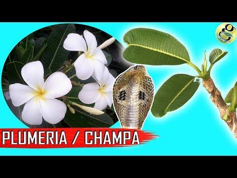 PLUMERIA (CHAMPA): Types, Plumeria Care Tips | Plumeria Cuttings