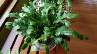 how to root christmas cactus cuttings - How To Root A Christmas Cactus