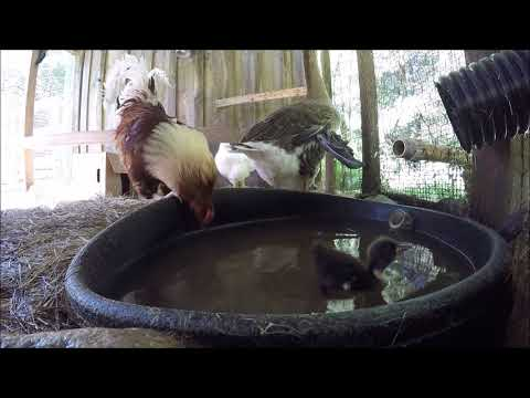 Chickens, Ducks and Geese at the Water Hole