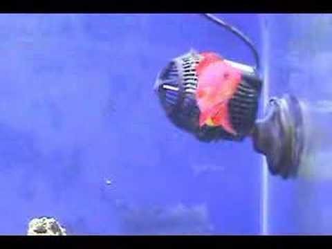 Mr Pink - The Lyretail Anthias