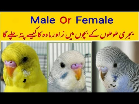 Male or female difference    How you know your baby budgie parrot male or female in Urdu Hindi