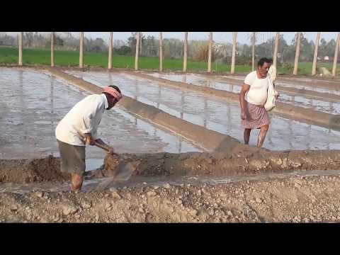 Sowing paddy crop in treditional method