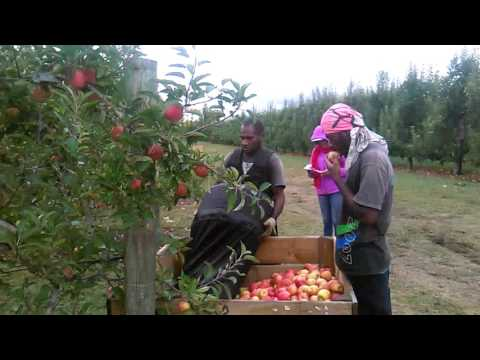 RSE workers in Nz...  Hirst boys harvest jazz apple..(Hastings New-Zealand 2016).