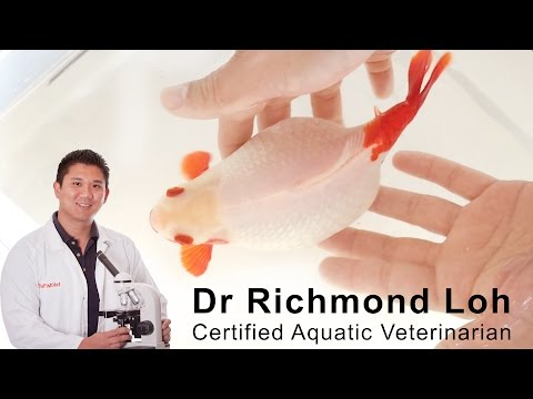 Egg bound goldfish how to diagnose and treat a bloated egg bound goldfish