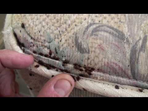 K9 Bed Bug Investigations / Town and Country Solutions major bed bug infestation!
