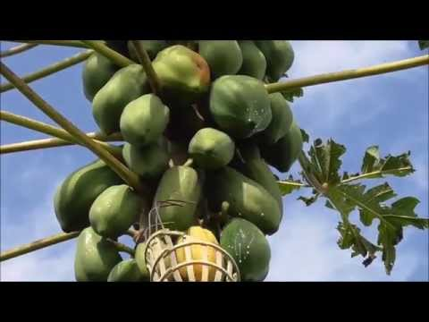 HOW TO Pick and Plant GIANT PAPAYA in Florida - Super Fun and Super Delicious