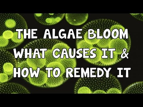 THE ALGAE BLOOM│WHAT CAUSES IT│AND HOW TO REMEDY IT