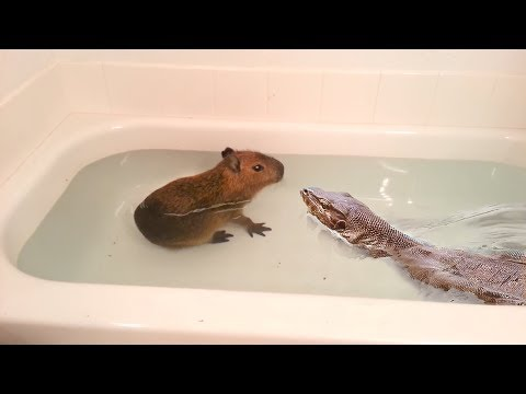 Lizard finds Rat in Tub—Quickly Jumps Inside and Eats It