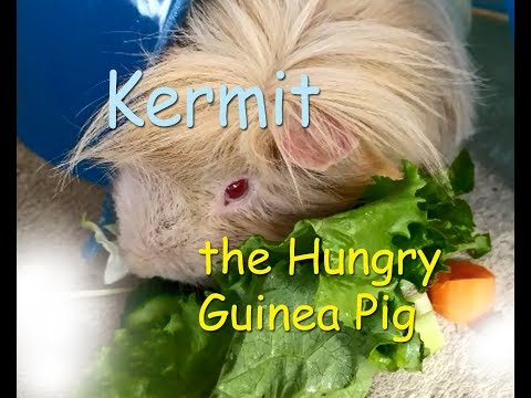 Kermit the Hungry Guinea Pig