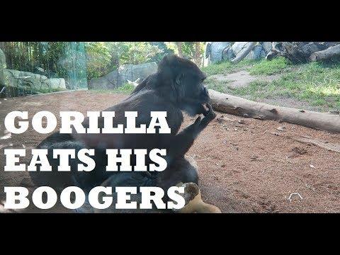 GORILLA EATS BOOGERS AT SAN DIEGO ZOO