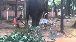 eliphant React മദമിളകിയ ആനയെ തളച്ചതാ