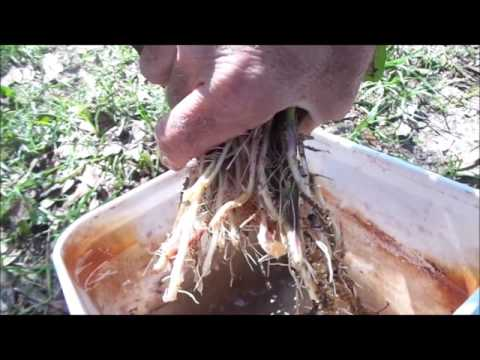 Sweet Potatoes - Step by Step Guide to Planting