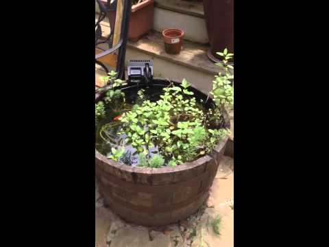 Cheap easy home made whiskey barrel fish pond