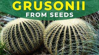 HOW TO GROW ECHINOCACTUS GRUSONII FROM SEEDS? | Barrel cactus propagation