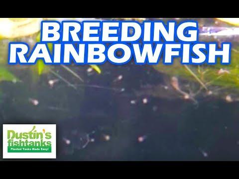 Breeding Rainbowfish: What to Feed Fry
