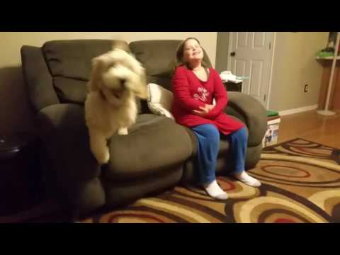 5 Month Old Goldendoodle Service Dog Puppy Retrieving TV Remote