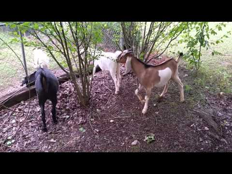 Update on goats 10/5/2015