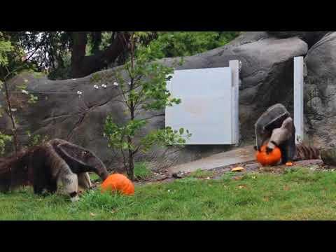 Detroit Zoo animals enjoy special fall treats at 2017 Smashing Pumpkins event
