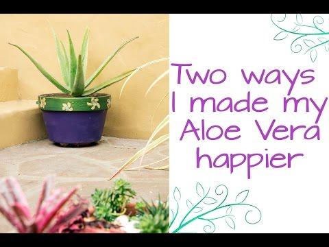 Two Ways I Made My Aloe Vera A Whole Lot Happier / Joy Us Garden