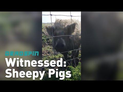 Witnessed: Sheepy Pigs