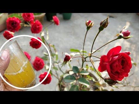 इसे बस एक बार डालिए, गुलाब में इतने फ़ूल आयेंगे कि सारे पड़ोसी देखते रह जाएंगे!
