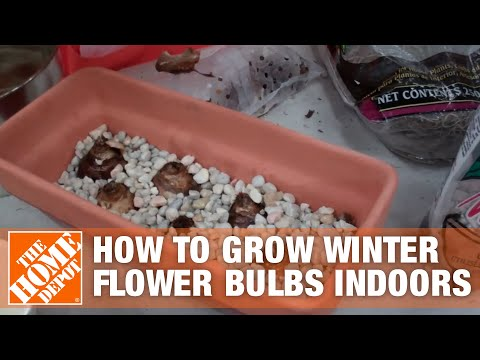 How To Grow Winter Flower Bulbs Indoors - The Home Depot