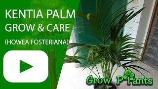 Kentia Palm - grow & care (Howea fosteriana)