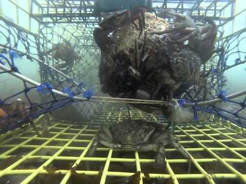 Bycatch lobster trap investigation