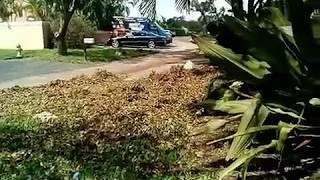 Leaf Blowing after Hurricane Irma STIHL BR 700