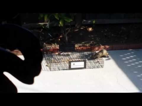 Squirrel Capture on HD via Squirrelinator - How to trap squirrels