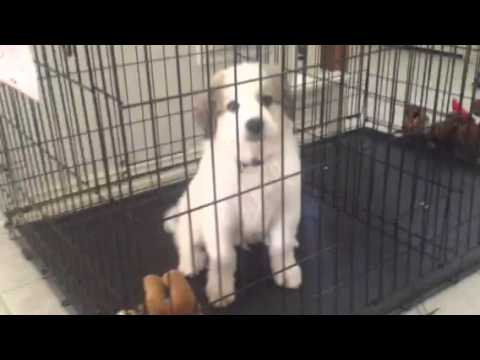 Great Pyrenees Puppy Whining in Crate